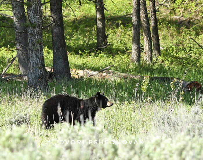 דוב שחור בפארק ילוסטון