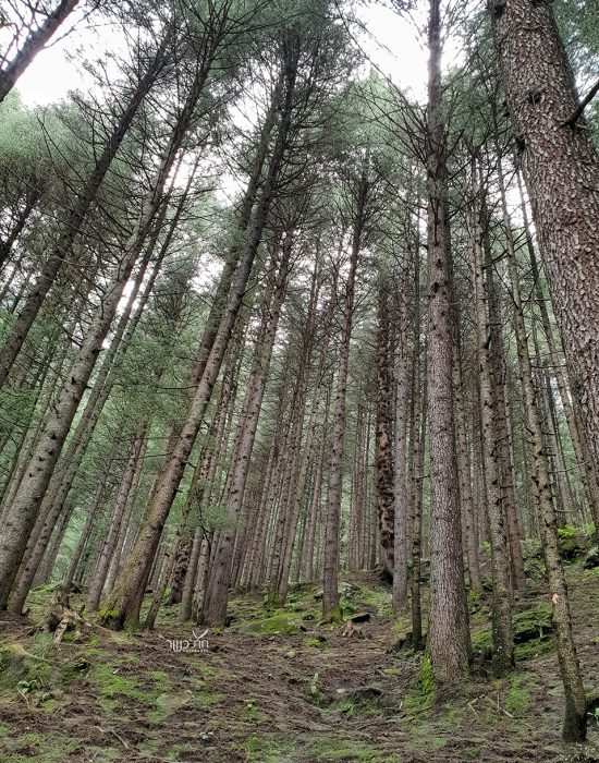 יער אדיר
