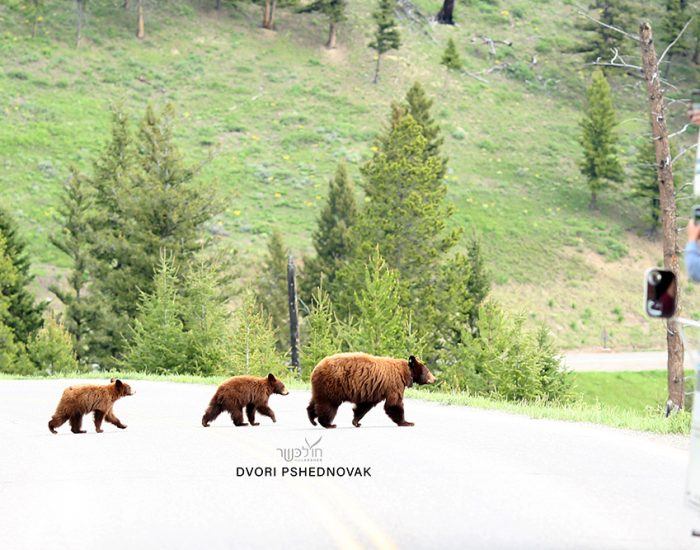 Grizzly Bear with 2 Cubs in Yellowstone Park!
