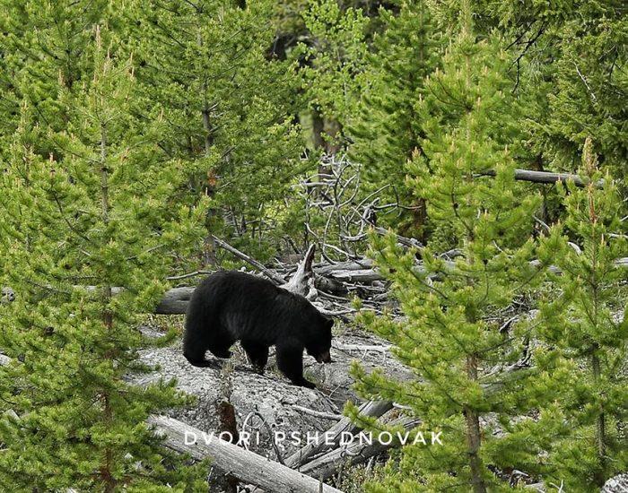 דוב שחור שאנחנו מצאנו!