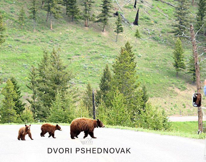 דובת גריזלי עם 2 גורים בפארק ילוסטון!