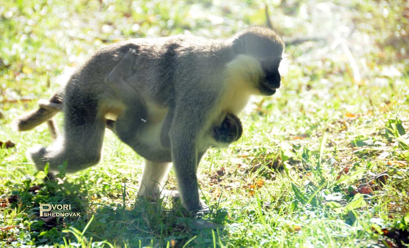 משפחת קופים