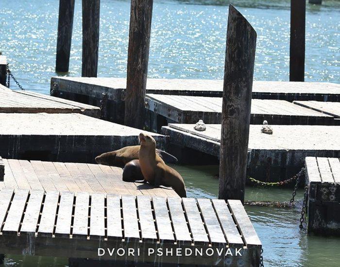 כלבי הים נעלמו יחד עם התיירים בקורונה