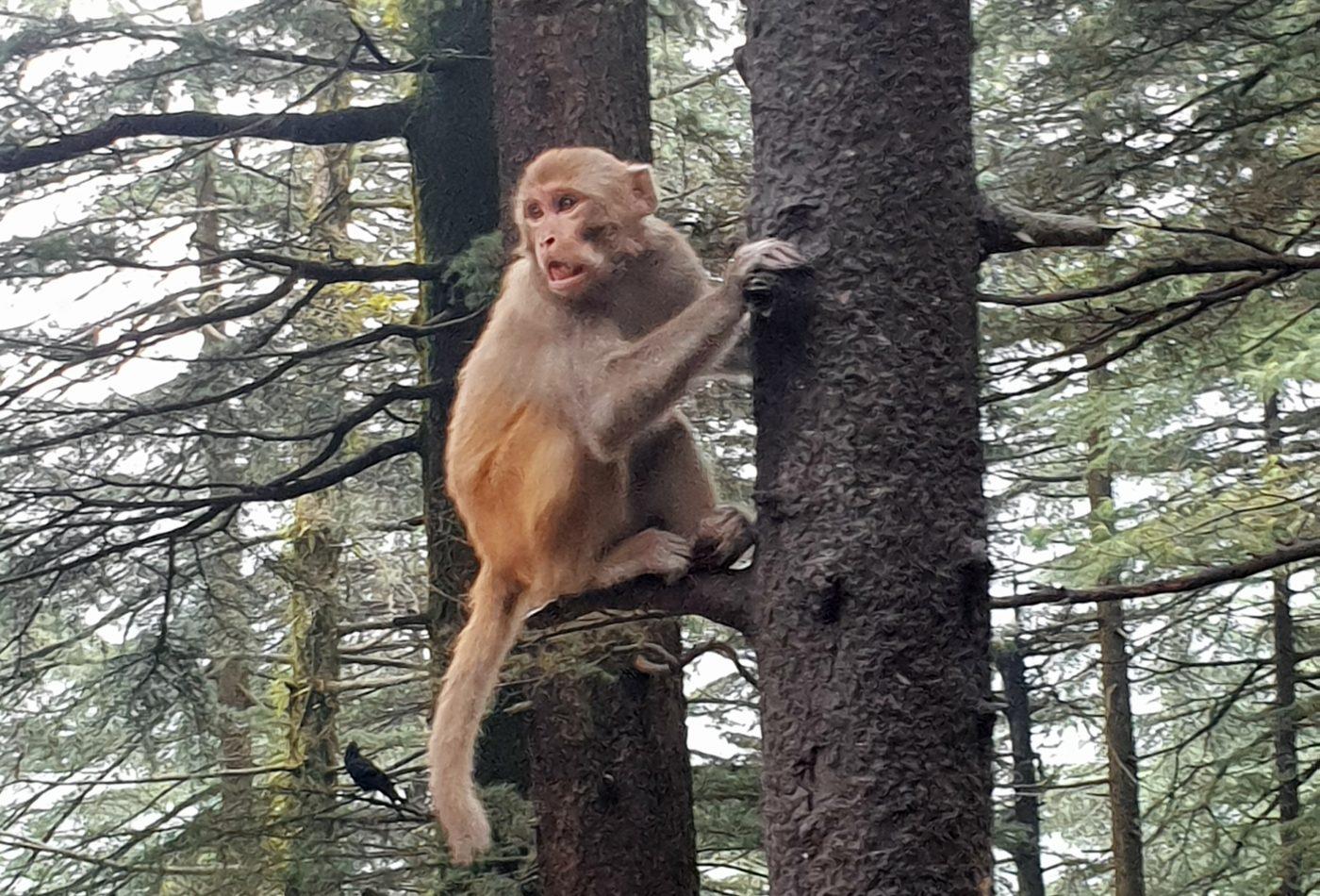 קופים בכניסה לדרמקוט
