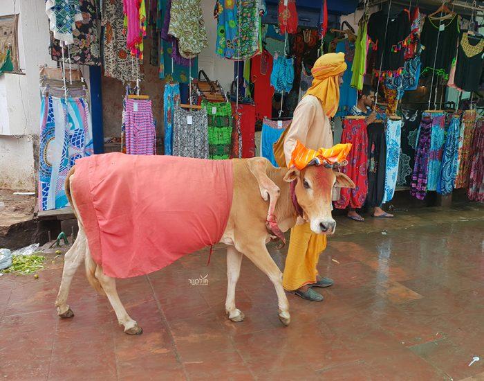 פרות קדושות בשוק בפושקר