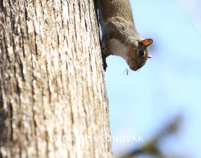 סנאי על העץ