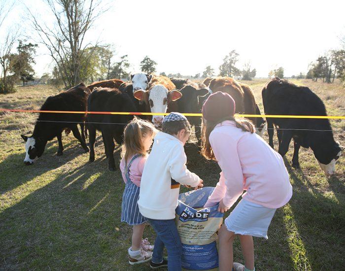 מאכילים פרות בחווה בטקסס