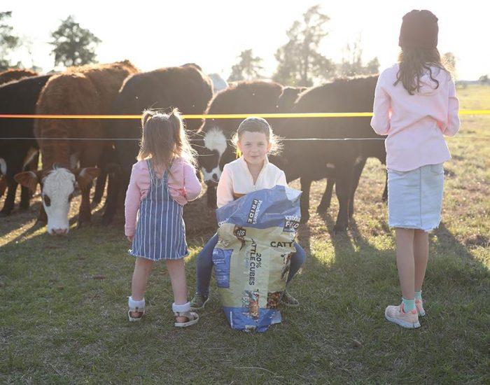 מאכילים את הפרות בחווה בטקסס