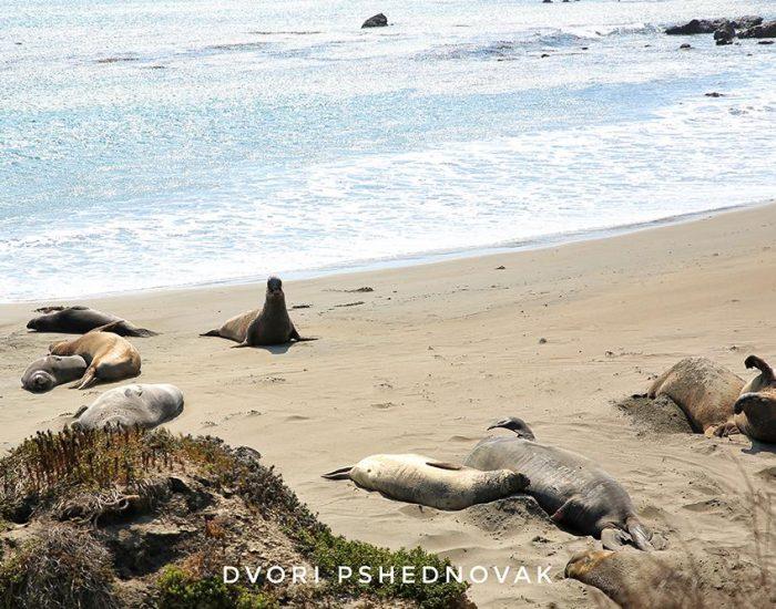 פילי ים בכביש מספר 1 קליפורניה