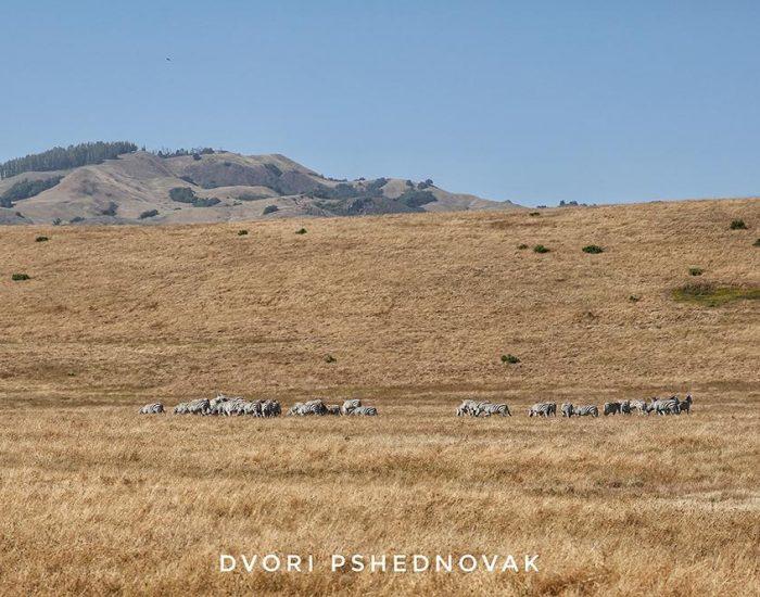 עדר זברות