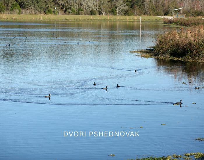 ברווזים במים