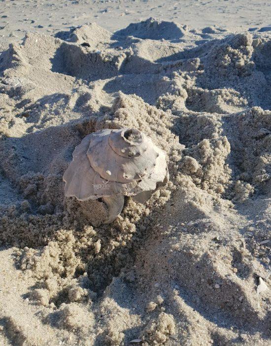 צדפה חוף ים מציאות כשר מירטל ביץ