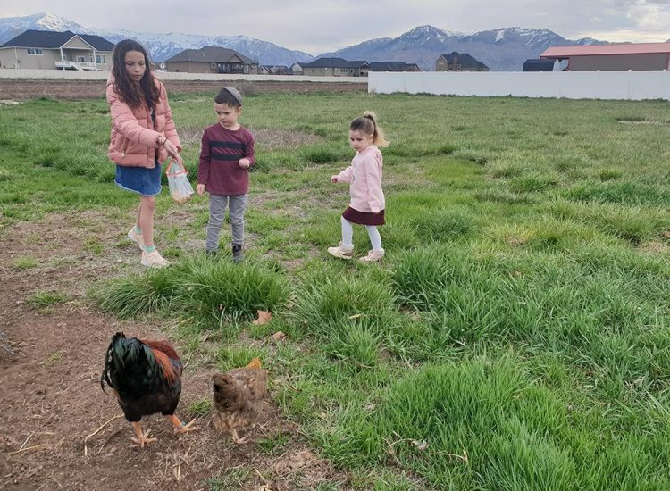 מאכילים תרנגולים