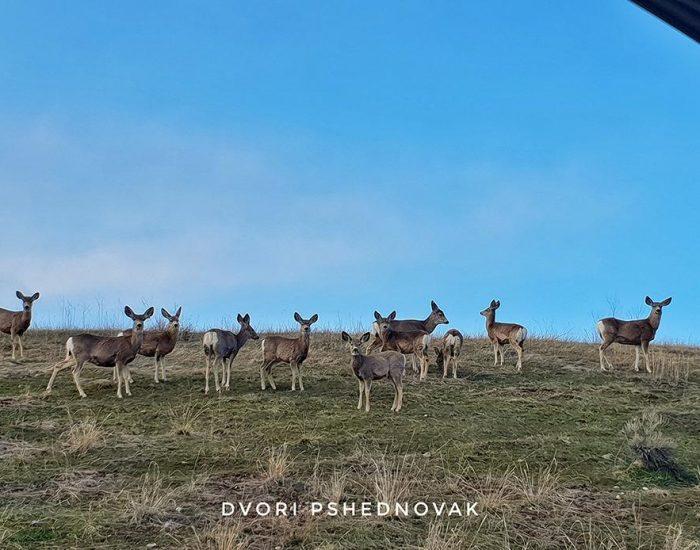 עדר איילים מקדם את פנינו בכניסה לבית במונטנה