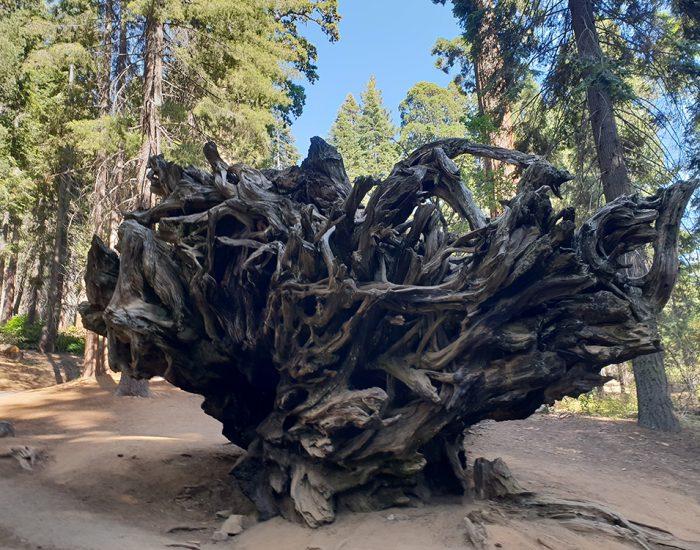 גזע של עץ סקויה שנפל