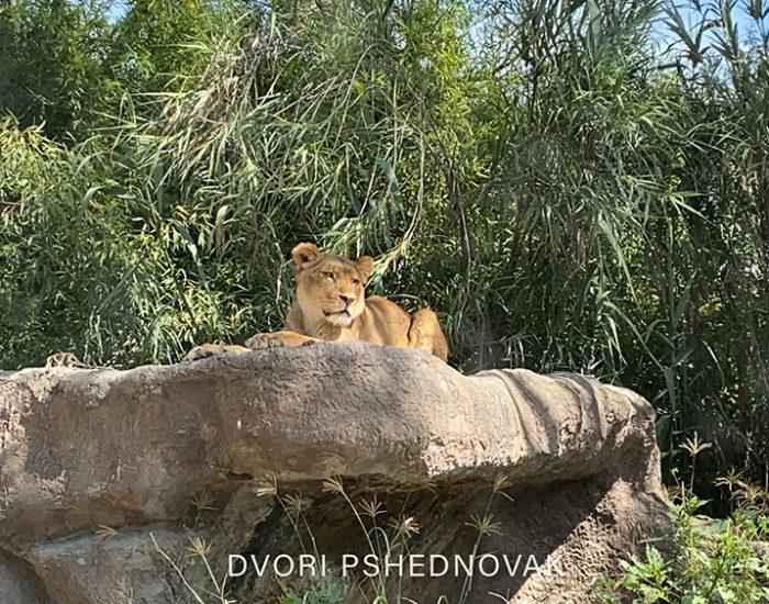אריות במרחק נגיעה!!