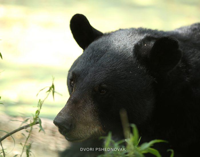 דוב שחור ממש צמוד לחלון הרכב שלנו!